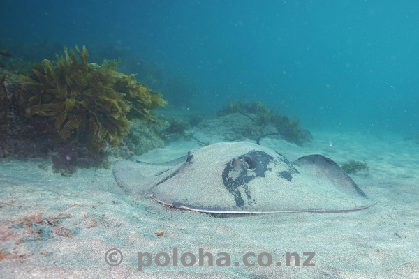 long-tail stingray on sand