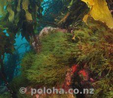 Pacific underwater greenery