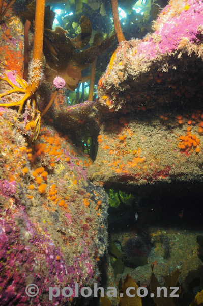 Reef under kelp forest