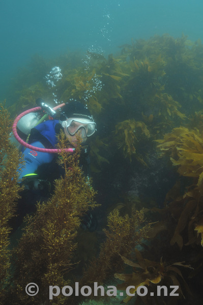 Diver hiding in kelp