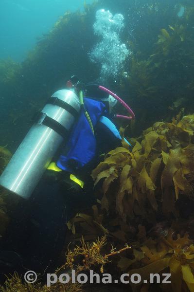 Diver at kelp wall