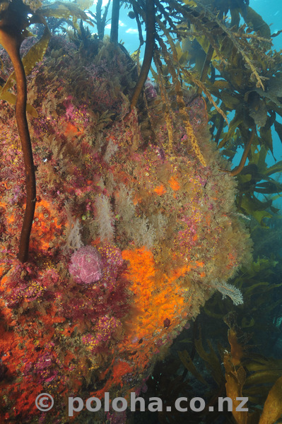 Colourful rock in temperate Pacific ocean