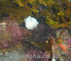 Squid eggs in kelp