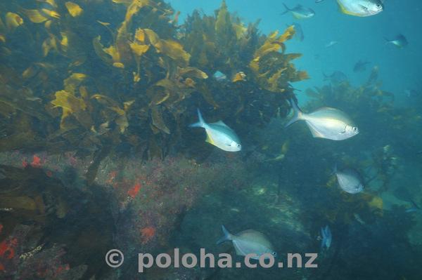Sweeps among kelp