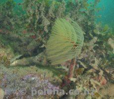 Fanworm among seaweeds