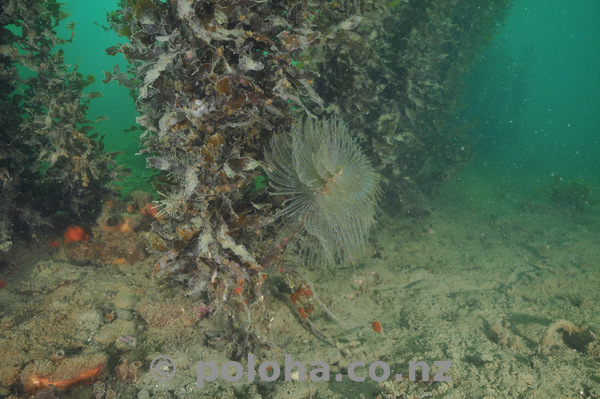 Fanworm under seaweeds
