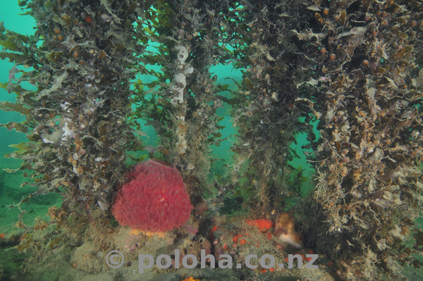 Red sponge under seaweeds