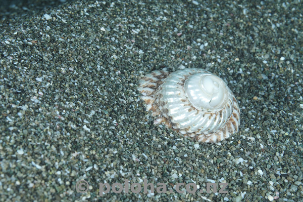 Turban shell on sand