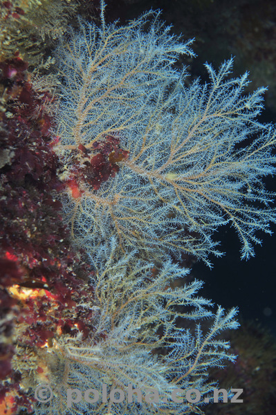 Hydroid trees on vertical wall