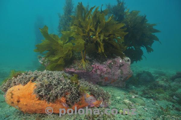 Sponge and kelp