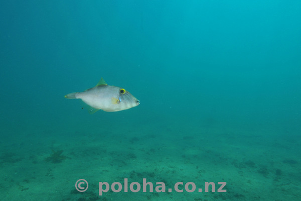 Leatherjacket above sandy bottom