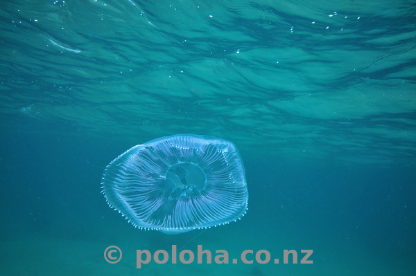 Jellyfish under surface