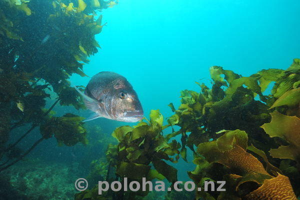 Large snapper in kelp forest