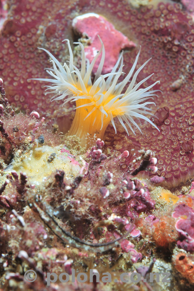 Open white-striped anemone