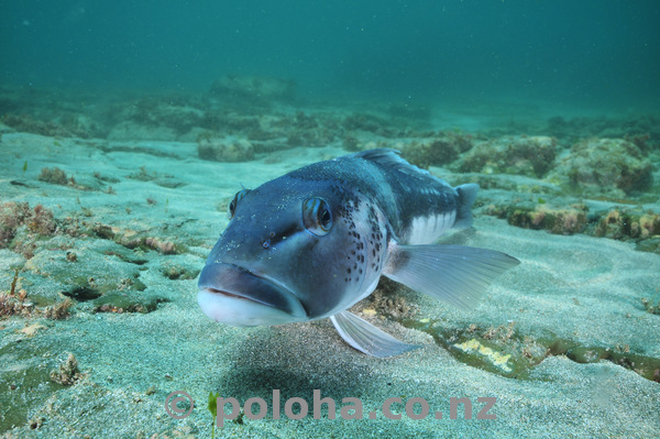 Large blue cod on sand