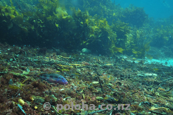 Goatfish in debris