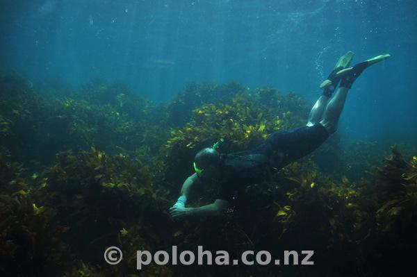 Snorkeler among kelp