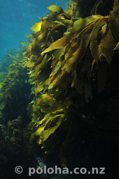 Kelp wall with light and shade