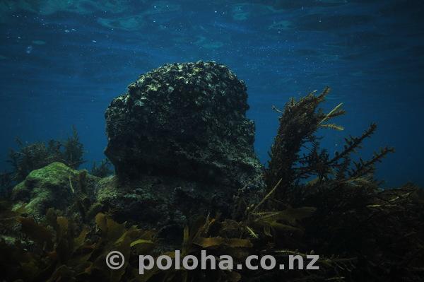 Lonely rock among kelp