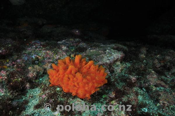 Orange nipple sponge
