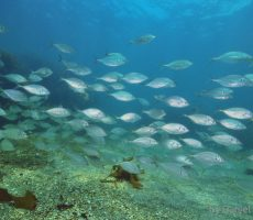 School of trevally