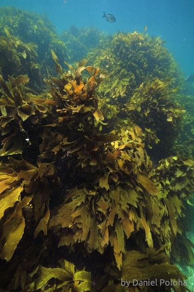 Kelp wall