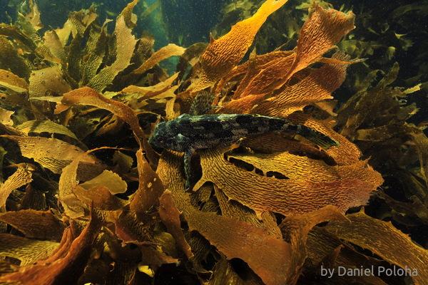 Kelpfish on kelp