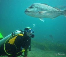 Diver and big snapper