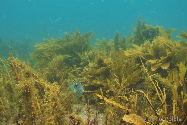 Leatherjacket in kelp