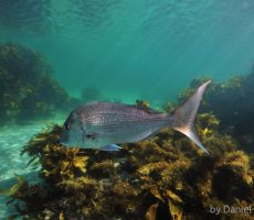 Snapper among brown kelp