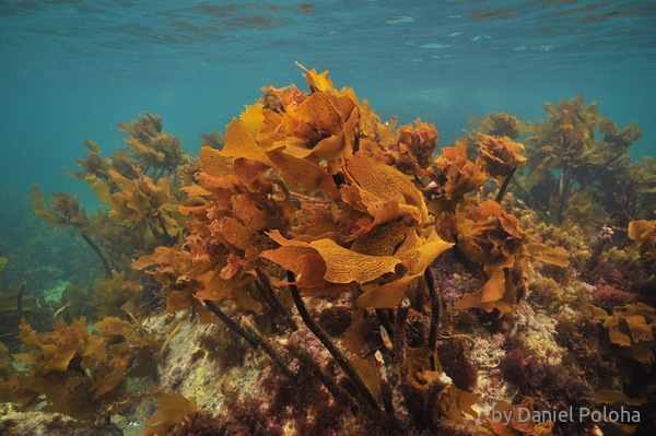Brown kelp on rocky reef