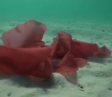 Red algae on sandy bottom